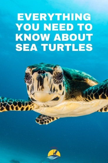 Everything You Need to Know about Sea Turtles