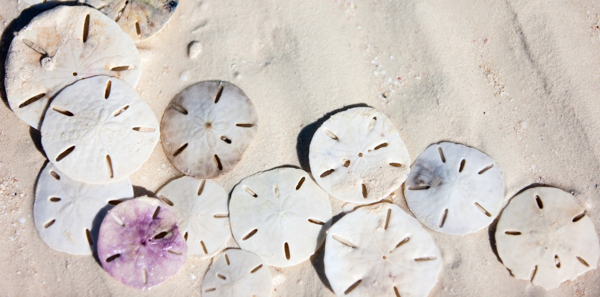 how to find sand dollars on topsail island