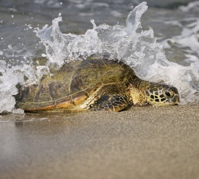sea turtle on beach with waves | Coastline Realty Vacations