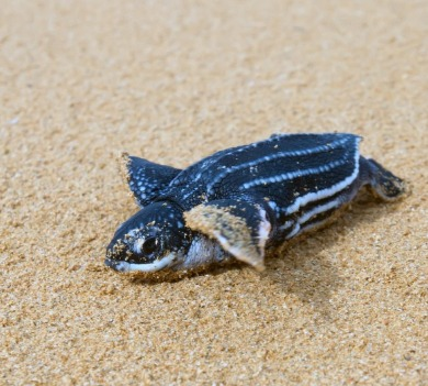 baby leatherback sea turtle | Coastline Realty Vacations