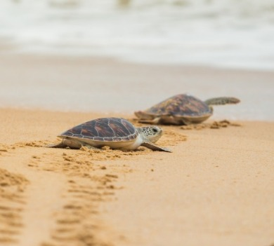 sea turtles on the beach | Coastline Realty Vacations